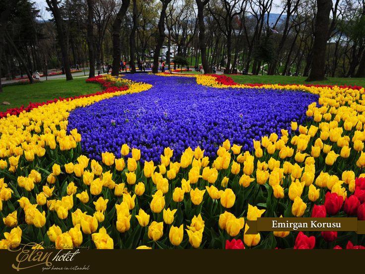 Lale festivali kapsamında Emirgan Korusu'na 211 farklı türde 2.308.000 lale dikildi :)  #elanhotelistanbul #istanbul #tulip #lale #emirgankorusu #Turkey #Turkiye