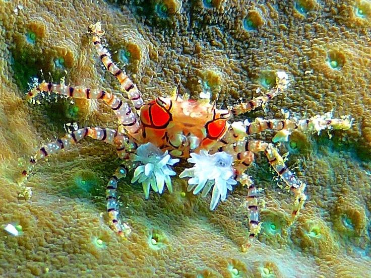 Boxer Crab / Bangka Indonesia