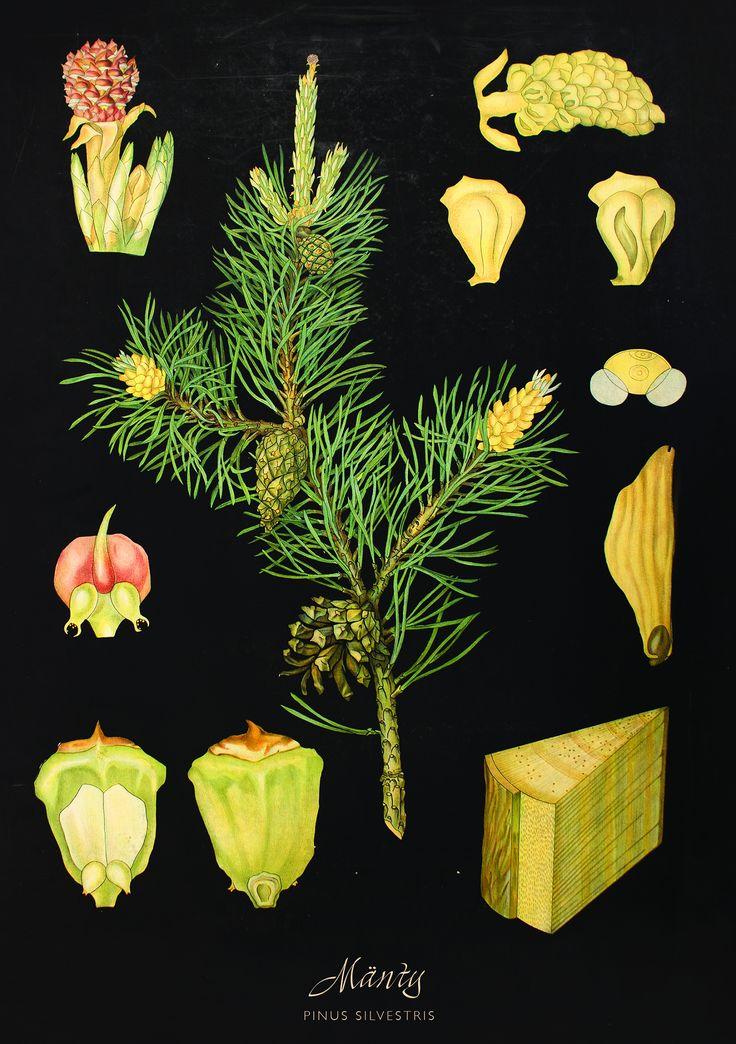 Pine-Mänty by Ebba Masalin