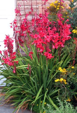 Watsonia, bugle lily; very easy to grow. pest free. hot sunshine or shade.g