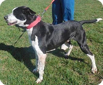 Rockville, MD - Hi!  I'm Johnson Adopt me at K-9 Lifesavers https://www.pinterest.com/k9lifesavers/adoptable-dogs/