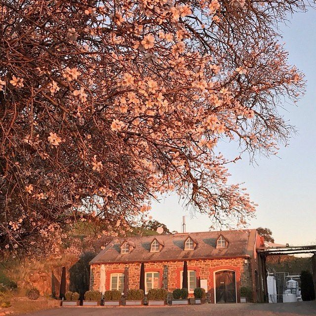 The first blossoms of the season are always cause for celebration - Spring is on the way!  Thanks to @bethanywines_barossa for the 📷 of their beautiful cellar door at sunset last night.
