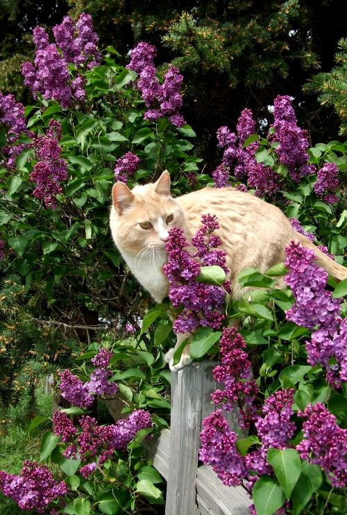 Can Cats Eat Lilac Flowers