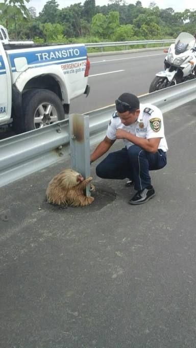 Hanno fatto il giro del mondo le immagini del bradipo che, a Quevedo in Ecuador, ha bloccato un'autostrada per diverse ore dopo essersi aggrappato su un guard-rail in attesa che qualcuno lo aiutasse ad attraversare la strada. L'animale (noto per la sua estrema lentezza) era arrivato fino a metà della carreggiata della nuova autostrada ma poi, impaurito, si è bloccato. In suo soccorso è arrivata la polizia stradale che poi ha postato su Facebook gli scatti del salvataggio. Una storia con un…