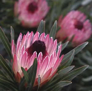 Protea pudens x longifolia  Delicate pink flowers produced in abundance make this lovely shrub glow in winter.  Suitable for cut flowers, it can be grown in pots and containers (with Australian native potting mix). V...