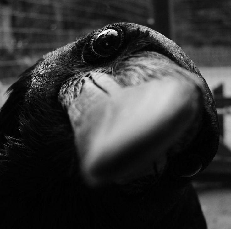 A gigantic crow head.