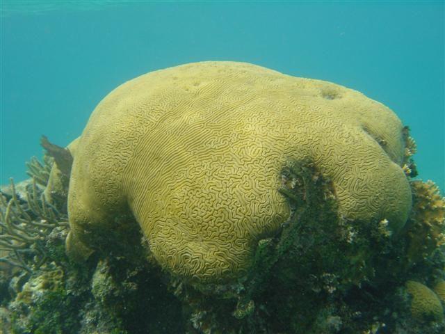 Coral de cérebro (Diploria labyrinthiformis), na Reserva Marinha Hol Chan, na Barreira de Recifes de Belize.  - Wikipédia, a Enciclopédia Livre