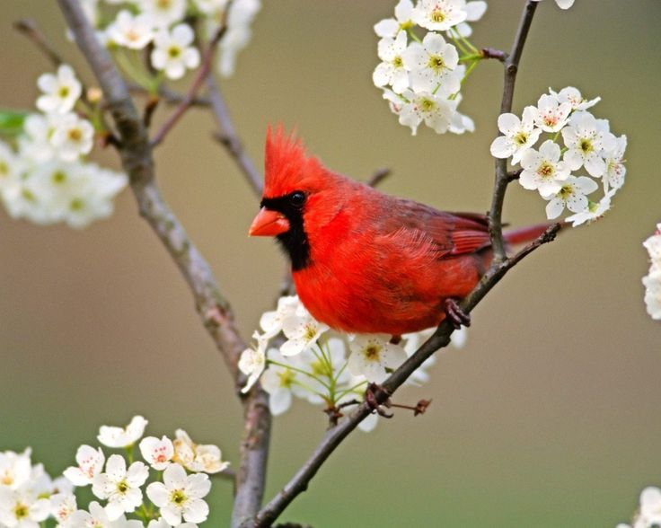 cardinal wallpapers 1080p high quality by Aston Round (2017-03-18)