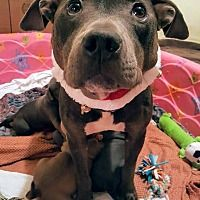 Shelburne, Vermont - Terrier (Unknown Type, Medium). Meet Polly, a for adoption. https://www.adoptapet.com/pet/20351151-shelburne-vermont-terrier-unknown-type-medium-mix