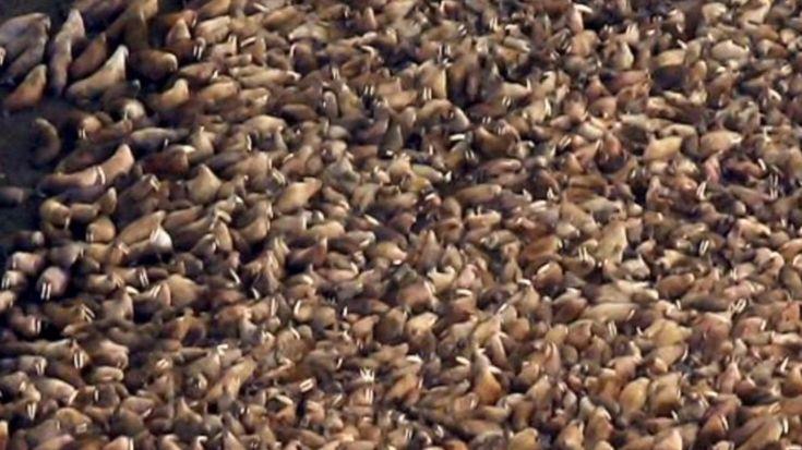 Le spettacolari immagini scattate dalla National Oceanic and Atmospheric Administration americana: il raduno di 35000 trichechi sulla spiaggia di Point Lay, in Alaska. I trichechi, sostengono gli esperti, sono stati costretti a raggiungere la riva invece di restare sui lastroni di ghiaccio in mare a