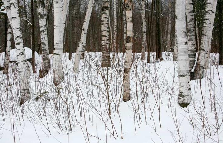 birch trees in winter | birch trees | Pinterest Pictures Trees In Winter Pinterest