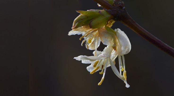 Pflanze des Monats: Winter-Heckenkirsche