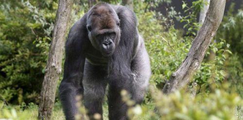Matan a gorila en zoológico de Ohio para proteger a un niño...