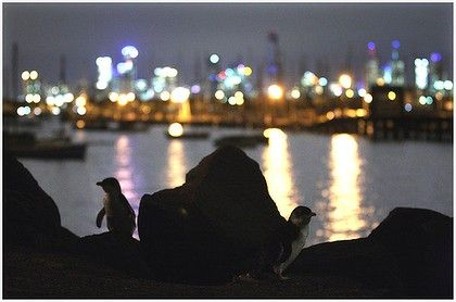 Have a spare hour?... head down to St Kilda at dusk to catch the Fairy Penguins coming home. Jump on the 96 tram enjoy one of Melbournes best kept secrets.