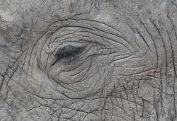 TWA-0000486 © WestPix The long-lashed eye of an African elephant in Chobe National Park, Botswana