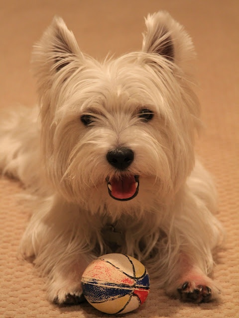 Duncan the Westie  I had a Westie named Busby.  Loved him to pieces.