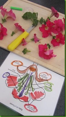parts of a flower - open a real flower to show parts; then let kids open another flower with their fingers