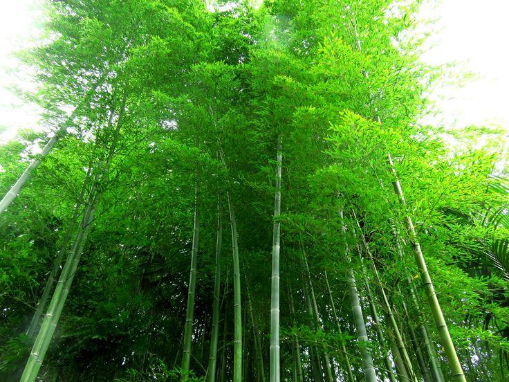 BAMBUSA ( Бамбуковый лес – великолепное зрелище. А если учесть, что растут такие заросли очень быстро – красота буквально восстает стеной .....)
