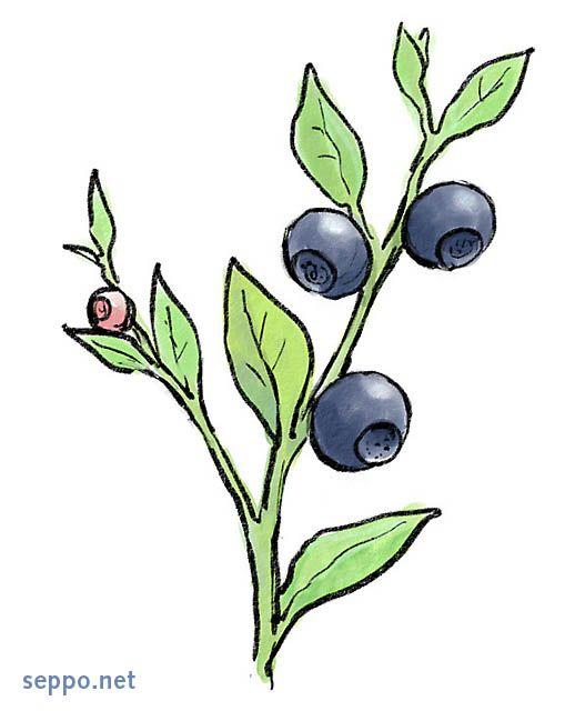 Mustikka, keywords:  mustikka Vaccinium myrtillus pilapiirros