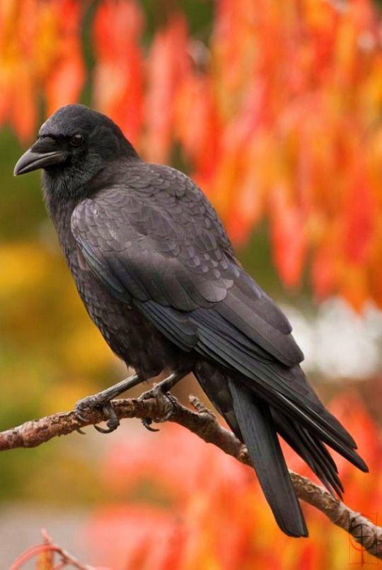 Crow by shochin on DeviantArt