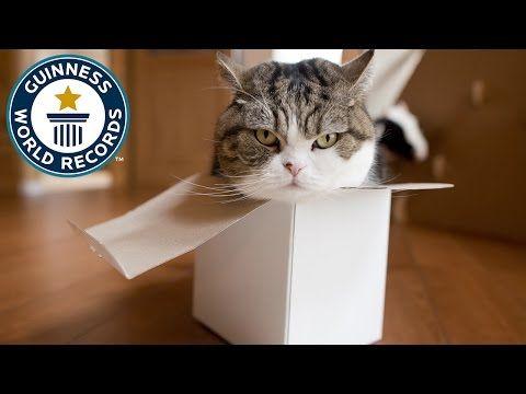 Video: Meet Maru 'Mugumogu' - the cardboard box-loving, record-breaking cat | Guinness World Records
