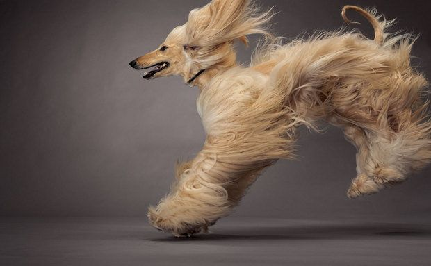 Galgo Afegão: Hound Dogs, Animal Kingdom, Dogs Breeds, National Geographic, Dogs Show, Afghans Hound, Happy Dogs, Photo Galleries, Dogs Portraits