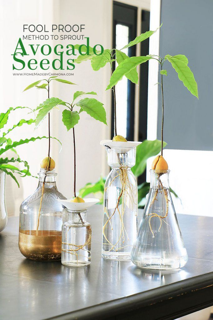 Fool Proof Ways To Grow An Avocado Plant From Seed Avocado Plant