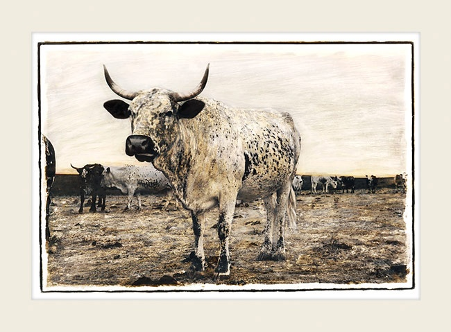 Nguni cattle - Mother Cow - Marlene Neumann Fine Art Photography  www.marleneneumann.com  neumann@worldonline.co.za