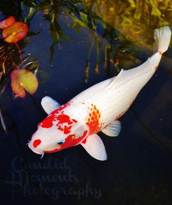 17 best images about koi fish on pinterest koi art koi for Fake koi fish