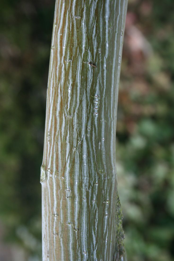 A close up of the fascinating bark of the snakebark maple for Greenspire solutions