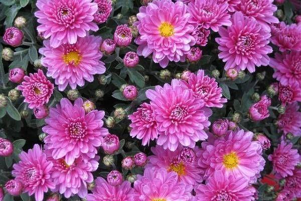 Gambar Bunga Krisan Tercantik Di Dunia Gak Hanya Lavender 8 Bunga Ini Ternyata Mampu Mengusir Nyamuk Tempat Baru Yang Lagi Nge H Menanam Gambar Bunga Bunga