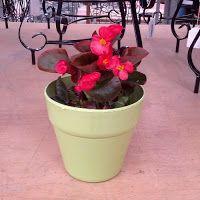 Βιγόνια: σε πλημμυρίζει με λουλούδια ακόμη και στη σκιά | Κηπολόγιο