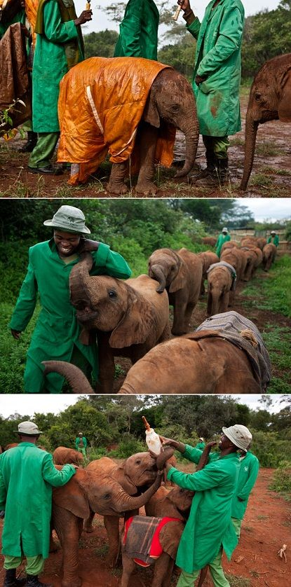 "An incredibly successful orphan-elephant rescue nursery in Kenya. They help those little buddies get well and strong before they let them back into the wild. The cutie in the raincoat is called baby Shukura and that raincoat was made especially for him to keep him dry, warm and healthy. Also, one of the carriers said this: ""The more you're with them, the more you satisfy yourself. You just love them."" Melts my heart <3"