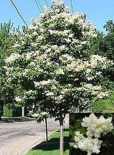 Dwarf Clump Japanese Lilac Tree Japanese Lilac Tree