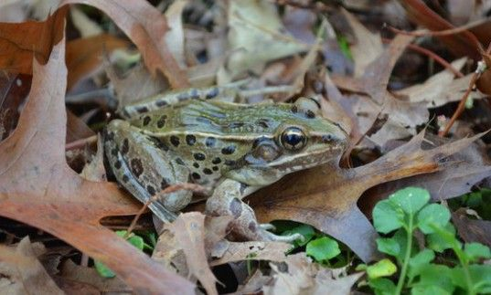 a new frog species was discovered in NYC!