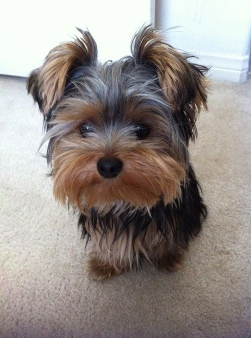 This is the exact kind of dog I have wanted for years!!!!!!!!!!!!: Dogs, Yorkshire Terrier, Pebbles Yorkie, Yorkies Yorkies, Pets, Baby Girl, Things, Animal