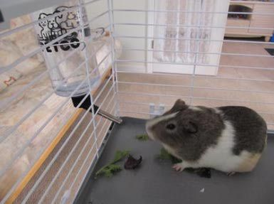 Guinea Pig Water Bottle - Barb Nefer