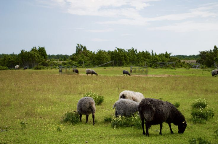 [OC] (Ovis aries) Sheep in Fårö [6014 x 4000] - http://ift.tt/29lE291