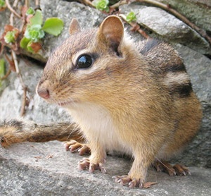 25 Best Ideas About Chipmunks On Pinterest Umbrellas Animal Umbrellas And Baby Chipmunk