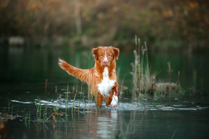 Nova Scotia Duck Tolling Retriever Walking Forward Through Shallow Water And Reeds Nova Scotia Duck Tolling Retriever Toller Dog Retriever Dog