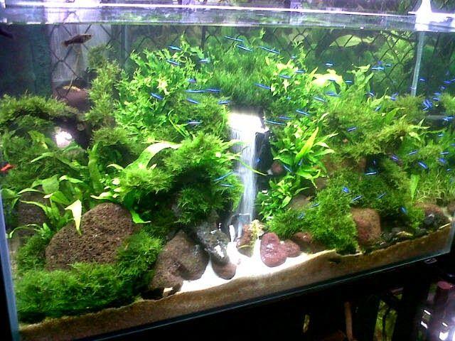 Apakah Anda Pernah Lihat Aquarium Yang Didalamnya Ada Air Terjun Mungkin Anda Akan Sangat Heran Kog Bisa Ada Air T Aquascaping Planted Aquarium Ikan Akuarium