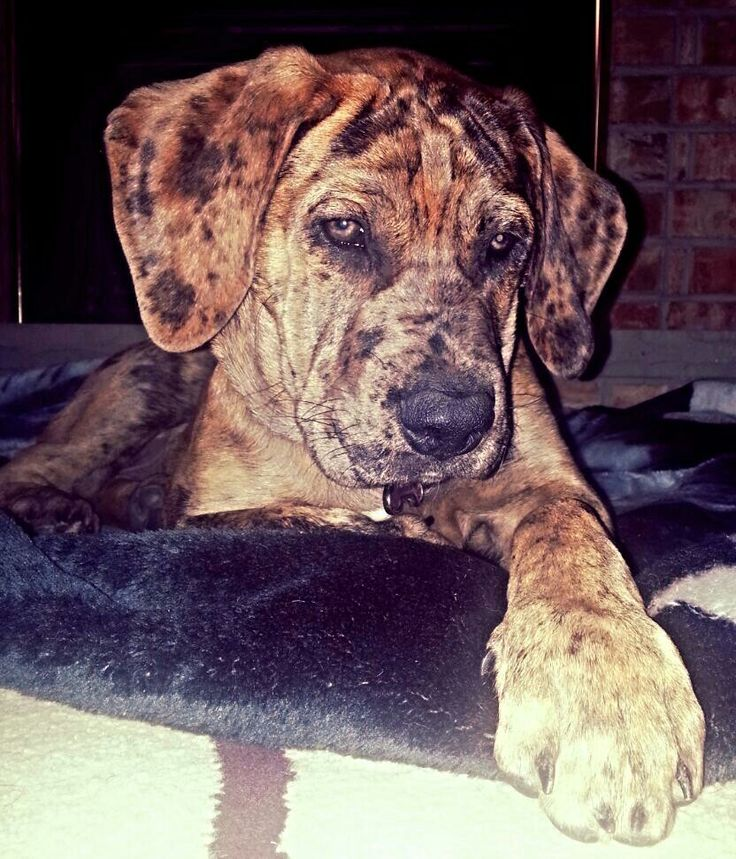 Great Dane/English Mastiff mix- daniff puppy