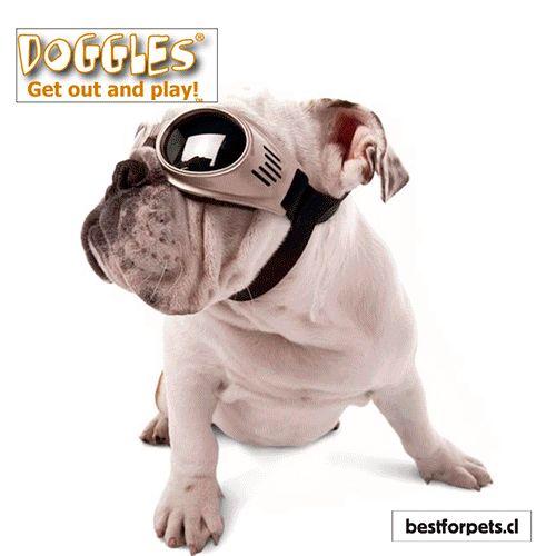 ¡NOVEDAD! Ya tenemos disponibles en nuestra tienda las únicas gafas protectoras diseñadas solo para #perros. Doggles ILS, ideales para todos los perros, para ir de viaje en auto, para los paseos en bici, para proteger sus ojos en la excursiones y para ser el perro más fashion del parque  😉 Protección 100% UV, lentes de policarbonato irrompibles y tratamiento antivaho. Disponibles en varios colores y tamaños. ¡Busca el modelo que encaje con tu regalón!