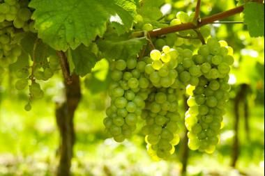 Vitis vinifera 'White Wine'  La Vitis vinifera è una pianta a foglia caduca molto popolare nel mondo per il suo frutto l'uva (frutto in grappoli di bacche più o meno grandi) commestibile e utilizzato sia come frutta da tavola che per la produzione di Vino e altri prodotti alcolici. La Vitis vinifera è una pianta rampicante, legnosa, con corteccia che si sfalda, di color marrone scuro e foglie grandi verdi.
