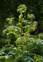 andělika lékařská - děhel lékařský Angelika archangelica kvete: červen–červenec (–srpen) výška:90–200(–250) cm  horské nivy, břehy potoků ařek, vlhké příkopy  pěstována v zahradách i na polích, významná léčivka, pěstována již v klášterních zahradách,větší množství drogy může způsobit ochromení nervového systému