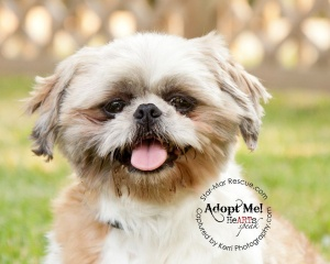 Jenny is an adoptable Shih Tzu Dog in Wooster, OH. Sweet Jenny came to Star-Mar when she was released by a breeder - her lucky day! She is am adorable purebred Shih Tzu. She turns 5 August 30th of thi...