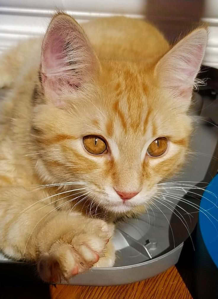 Orange tabby ginger kitten cat, beautiful eyes Cats and