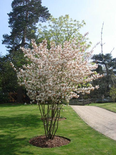 Amelanchier (krentenboompje) - bloeit april - Lichtdoorlatend. Eetbare vruchtjes zijn rijp in augustus.