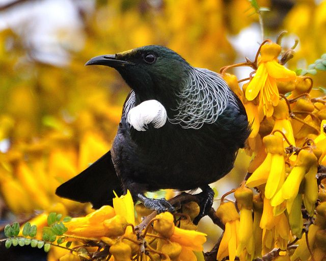 a tui, also known as a parson bird // the Kōwhai is a small tree with bright golden flowers, native to NZ and unofficially the national flower // photo by mike brebner