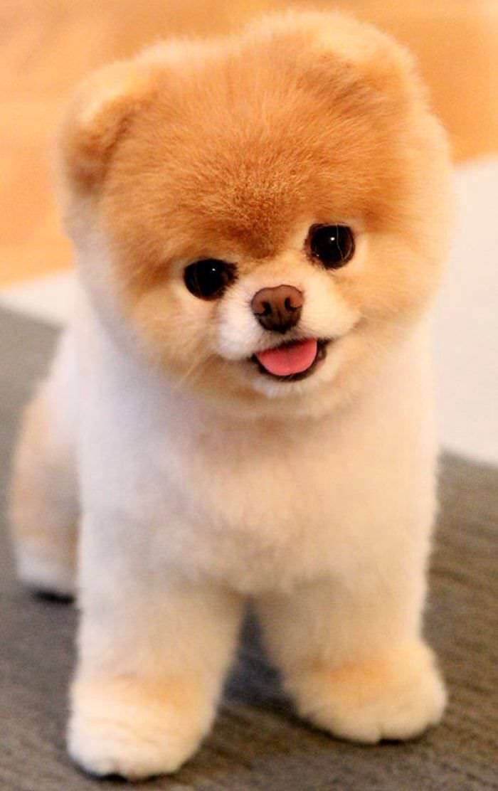 beautiful shiba inu puppy looks almost like a toy cute face and big brown eyes